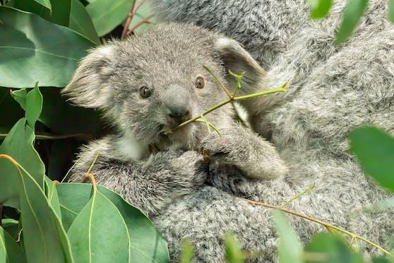 Eine Gesichtserkennungs-Software soll nun verraten, welche Koalas die Brücken in Queensland (Australien) überqueren.