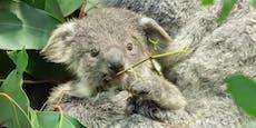 Gesichtserkennungs-Software soll Koalas besser schützen