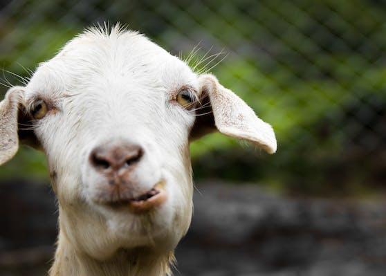 Die britische Landwirtin Dot McCarthy bietet ihre Ziegen zur Auflockerung langweiliger Zoom-Meetings an.