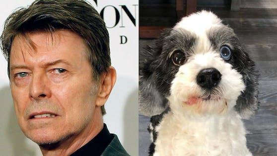 David Bowie und sein Hund Max hatten beide zwei verschiedenfarbige Augen.