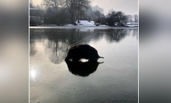 Dieses Wildschwein kam trotz großer Bemühungen nicht mehr vom Eis.