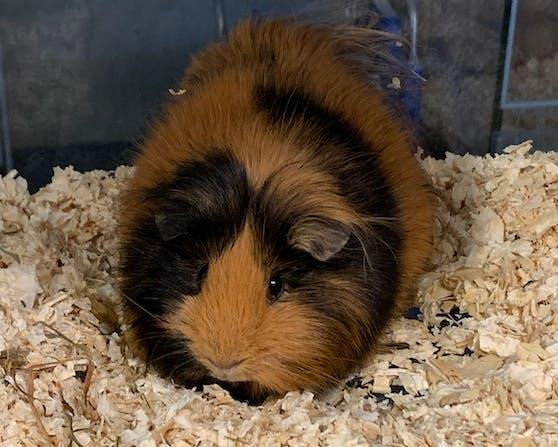 Im Keller eines Wohnhauses wurde dieses Meerschweinchen entdeckt. (Wien 22)