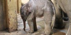 Elefantenbaby wurde erlöst - sonst wäre es verhungert