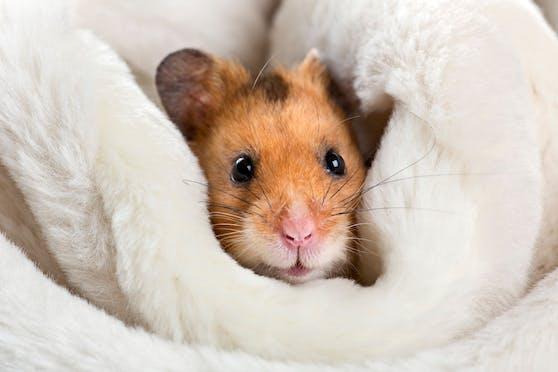 (Symbolbild) Ein kleiner Hamster war den kranken Spielen eines Wieners ausgeliefert.