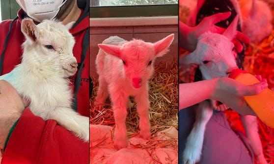 Diese Ziegen-Drillinge sind Waisen und werden nun im Tierschutzhaus Vösendorf per Hand aufgezogen.