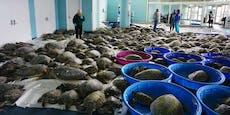4000 Meeresschildkröten werden aufgewärmt