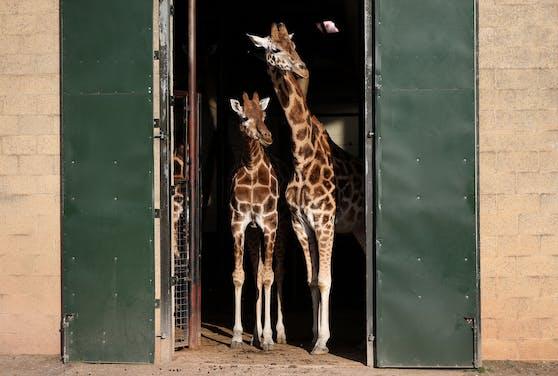 Die Giraffen wurden mit Flaschen beworfen.