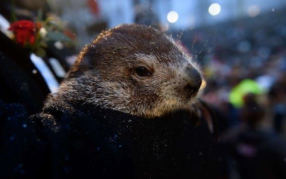 """Waldmurmeltier Punxsutawney """"Phil"""" sagt jährlich am 02. Februar das Wetter voraus."""