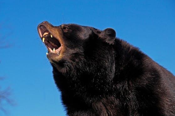 Ein Amerikanischer Schwarzbär (Ursus americanus) in Abwehrstellung. Symbolbild