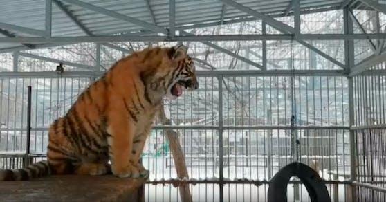 Dieser Tiger verzückt mit seinem Singsang das Netz