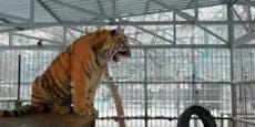 """So hast du einen Tiger noch nie """"singen"""" hören"""