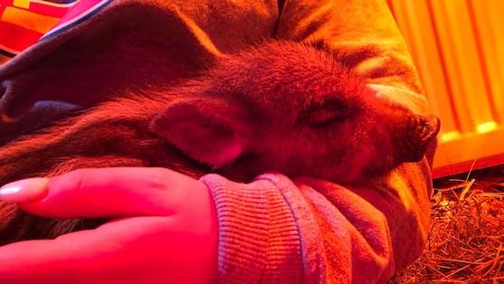 """Der erst ein paar Tage alte """"Albert"""" wurde hilflos in Wolfsgraben (Wienerwald) entdeckt."""