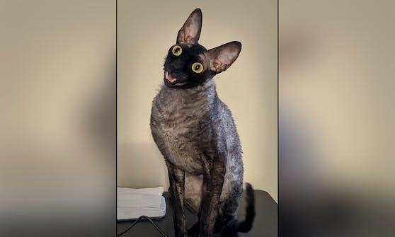 """Der """"Cornish-Rex"""" Katze """"Pixel"""" wurde jetzt ein Dämon angedichtet."""