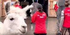#wirtanzenfürtiere: Gut Aiderbichl lässt Alpakas tanzen