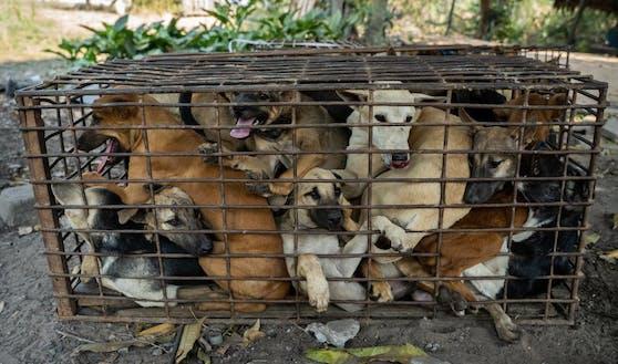 Vier Pfoten konnte 61 Hunde vor der Schlachtung retten.