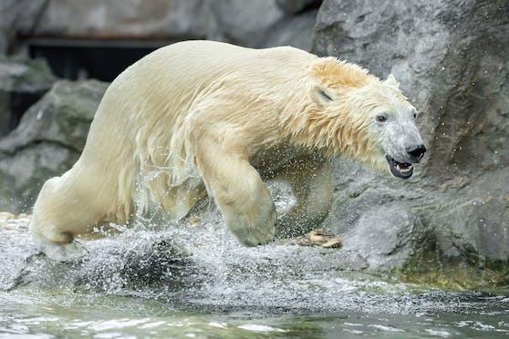 """Schönbrunner Eisbärenmädchen """"Finja"""" macht jetzt Tempo für die Eisbärenrettung"""