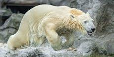 """Welt-Eisbärentag: """"Finja"""" ist Botschafterin"""