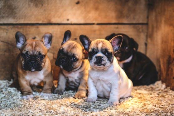 13 französische Bulldoggen Welpen sollen eingeschläfert werden, weil sie aus Polen kommen.