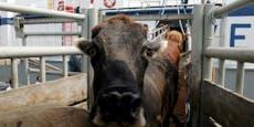 Irrfahrt über Meere endet für 900 Rinder mit dem Tod