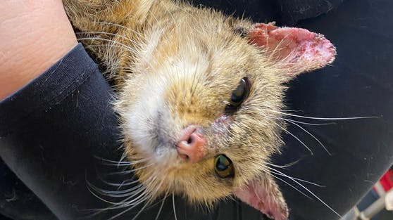Diese Katze wurde in einem katastrophalen Zustand gefunden.