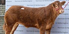Ansturm auf Corona-Impfung wegen Kuh-Gewinnspiel