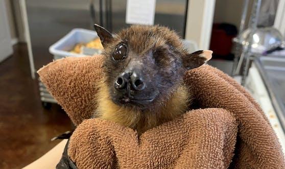 """Der indische Flughund """"Statler"""" ist bereits 33 Jahre alt und verbringt seinen Lebensabend im """"Bat Wold Sanctuary"""" in Texas."""