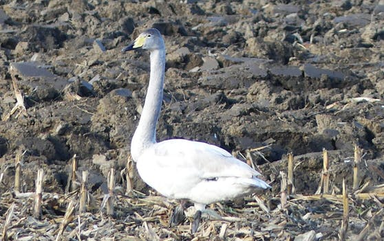 Seltene Vogelsichtungen wie der Singschwan wurden mit der Kamera festgehalten.