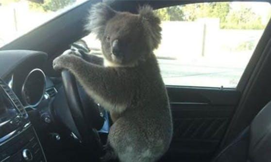 Im Süden Australiens verursachte dieser putziges Kerl einen Verkehrsunfall.
