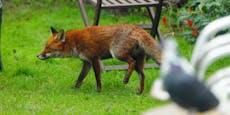 Kärntner entdeckt 2 gehäutete Fuchskadaver