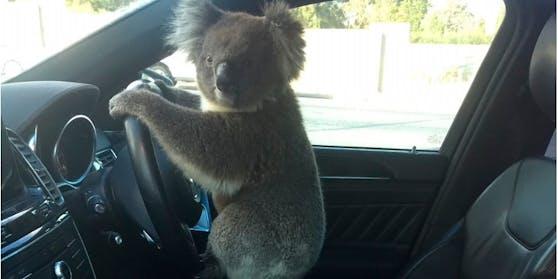 Der abenteuerlustige Koala im Auto.