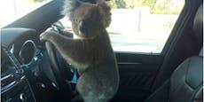 Koalabär löst Massenkarambolage aus