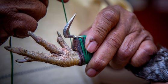 In vielen Regionen der Welt werden den Hähnen noch zusätzlich rasiermesserscharfe Klingen an die Füße gebunden. Diese Aufnahme stammt aus Chimalhuacan, Mexiko.