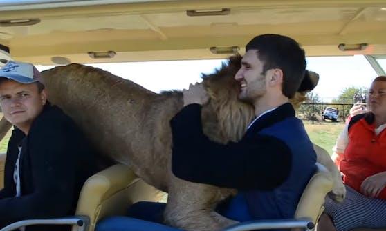 """Der """"Taigan Lion Park"""" in Russland machts möglich. Hier lassen sich die Löwen von den Besuchern kraulen."""