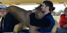 Will dieser Löwe wirklich nur kuscheln?