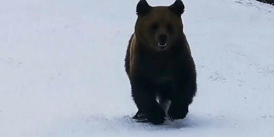 In einem rumänischen Skigebiet sorgte dieser Bär bei einer Skigruppe für einen erhöhten Adrenalinspiegel.