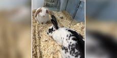 Hat Wien eine Kaninchenplage? Wieder 6 Stück ausgesetzt