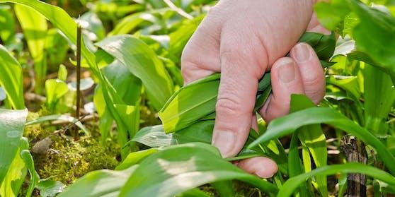 Die Pflanze die nach mildem Knoblauch schmeckt ist im Frühling besonders beliebt.