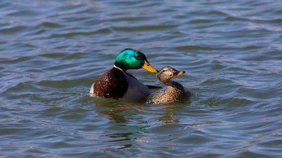 Die Paarung zweier Enten ist nicht unbedingt sehr romantisch.