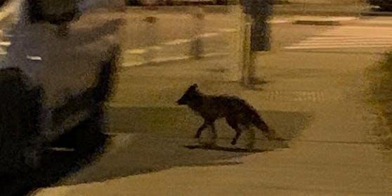 Der Fuchs spazierte seelenruhig auf dem Gehsteig herum.
