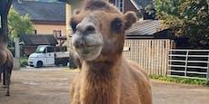 """Trauer im Weißen Zoo! Kamel """"Sultan"""" ist gestorben"""