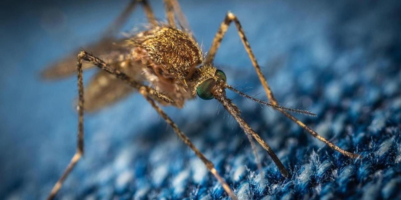 Stechmücken 2021