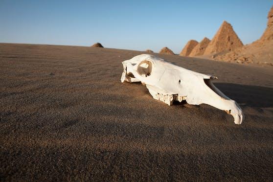 Ein Schädel eines Kamels in der Wüste des Sudan. Symbolbild