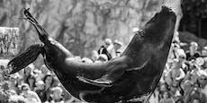 Trauer um Robben-Star Comandante in Schönbrunn