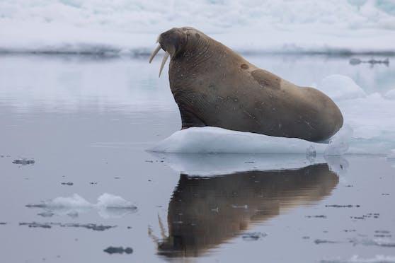 Ein Walross dürfte auf einer Eisscholle eingeschlafen sein.