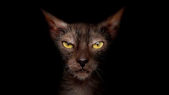 """Gestatten..., Werkatze. """"Lykois"""", oder Werwolfkatzen sind sehr selten."""