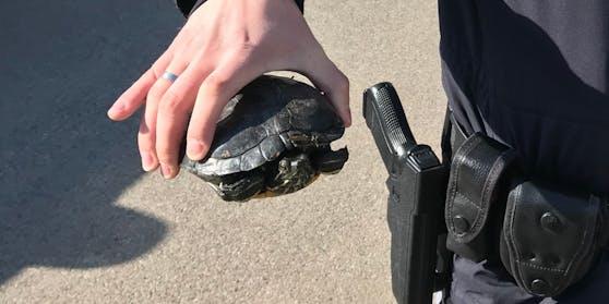 Diese Amerikanische Rotwangen-Schmuckschildkröte wurde in Moosburg ausgesetzt