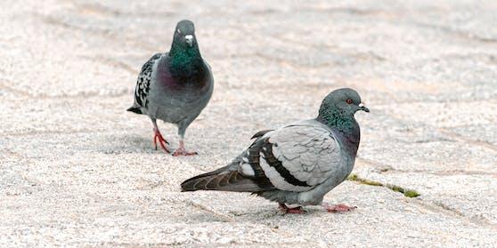Ein Paar Tauben spaziert auf Kopfsteinpflaster dahin. Symbolfoto