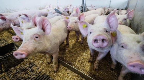 Auch Tiere mögen Musik, glaubt die Fleischindustrie.