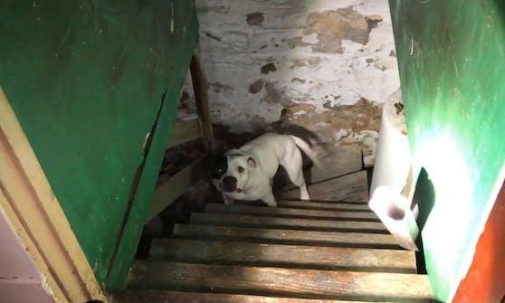 Wie herzlos kann jemand sein? Die Hündin war an einer kurzen Kette im Keller zurückgelassen worden.