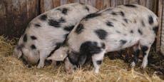 Schönbrunner Schweine auf Liebesurlaub in St. Pölten